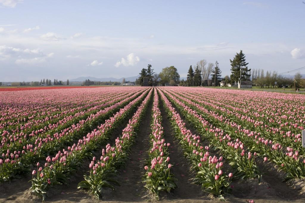 tulips-1-copyemail-1