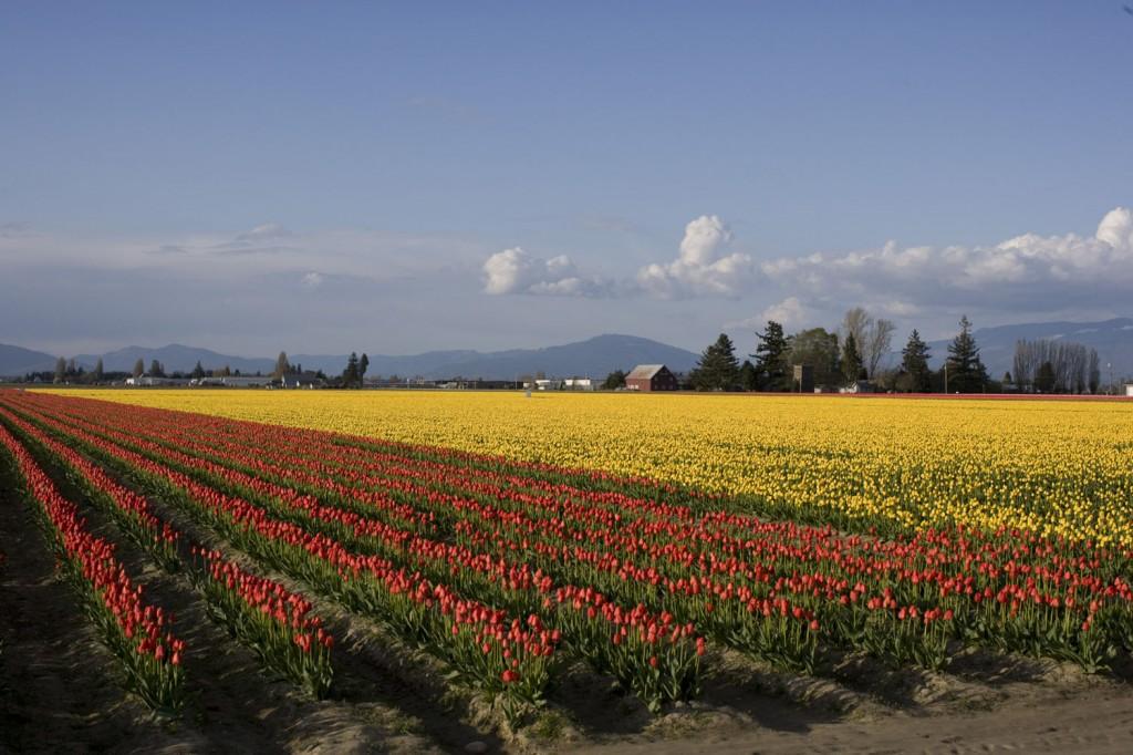 tulips-2-copyemail